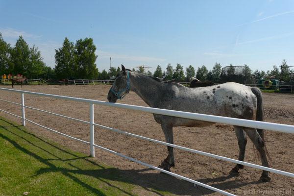 Pepelandzkie konie.