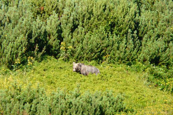 Niedźwiedź pod Kopą Magury.