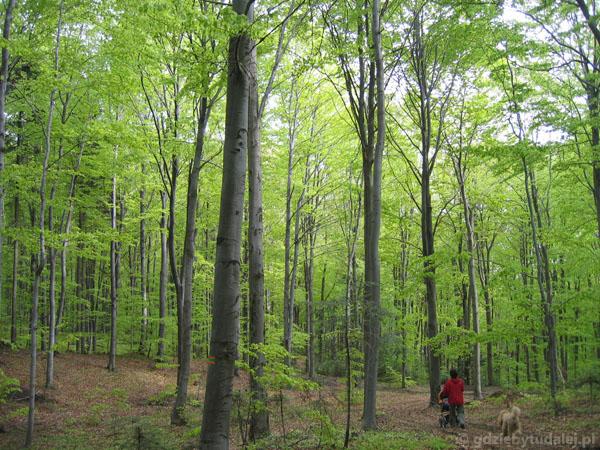 Bukowe lasy wiosną są przepiękne