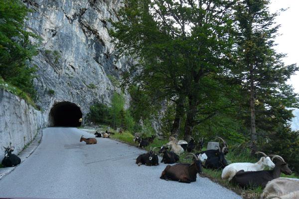 Kozy na drodze na Przełęcz Mangarcką.