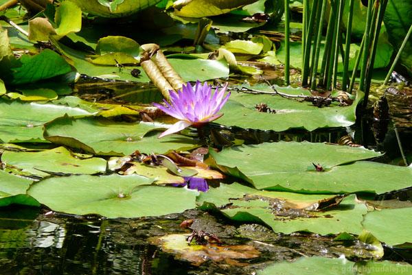 Lotosy - indyjskie lilie wodne.