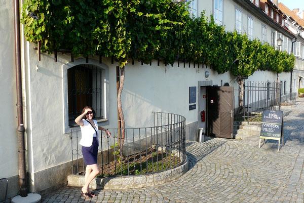 Najstarsza winorośl na świecie, Maribor.
