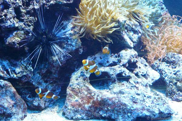 Jeżowiec kontrastuje z tropikalnymi rybkami.