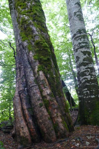 Niesamowite drzewa tutejszej puszczy.