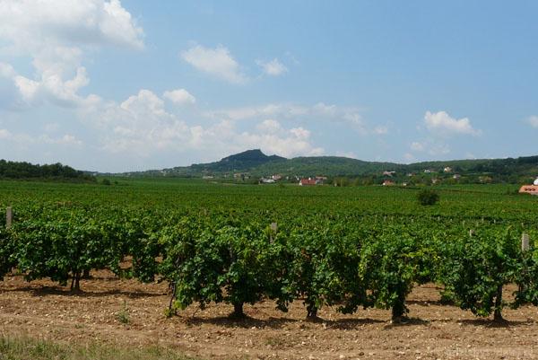 Jedna z wielu nadbalatońskich winniczek.W tle wulkan Hegyestu.