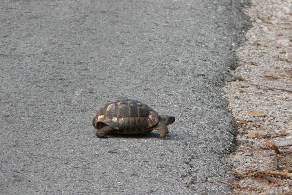Nagle na jezdnię wtargnął żółw.