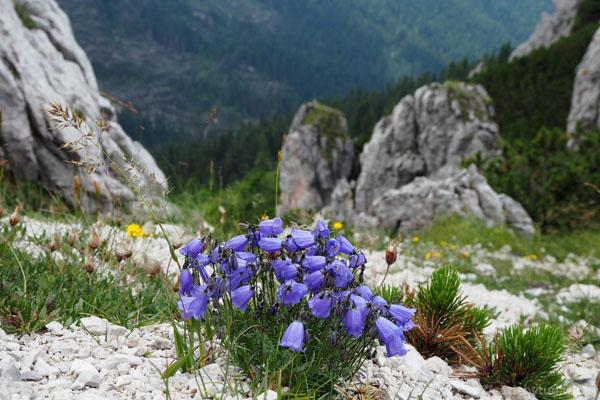Dzwonki alpejskie.