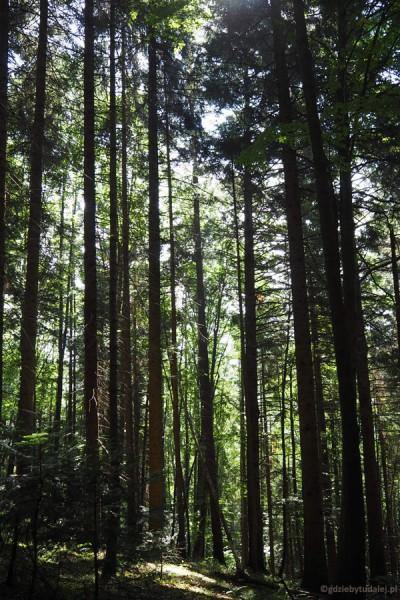 Idziemy przez piękny las jodłowo-świerkowo-bukowy.