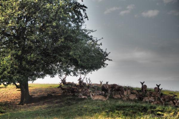 Potem stado jeleni sika.