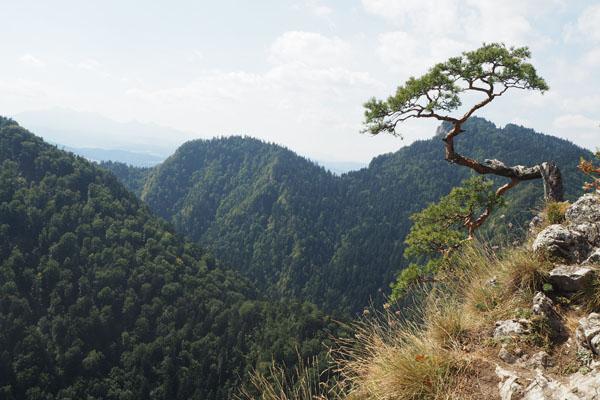 Podobno najczęściej fotografowane drzewo w Polsce.