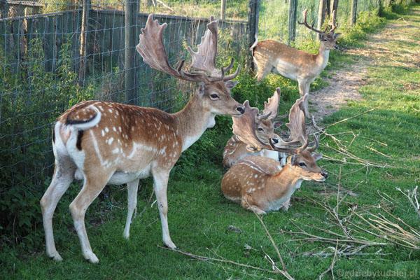 Park Dzikich Zwierząt w Kadzidłowie. Widzimy daniele.