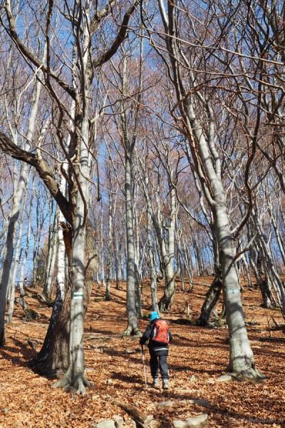 Najpierw szlak wiedzie przez bukowy las.