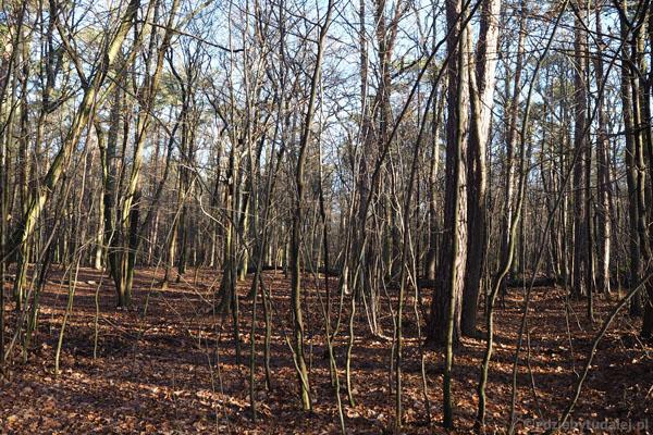 Lasy w okolicy Młochowa.