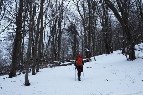Szlak wiedzie przez piękny bukowy las.