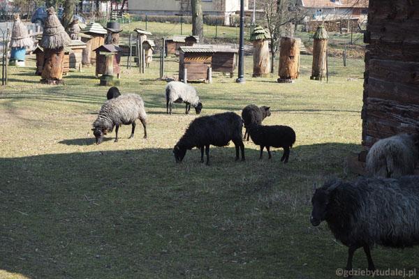 Na razie jest dobrze. Grześ wypatrzył owieczki wrzosówki.