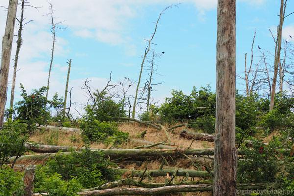 Miejsca gniazdowania kormoranów najłatwiej poznać po zniszczonym lesie.