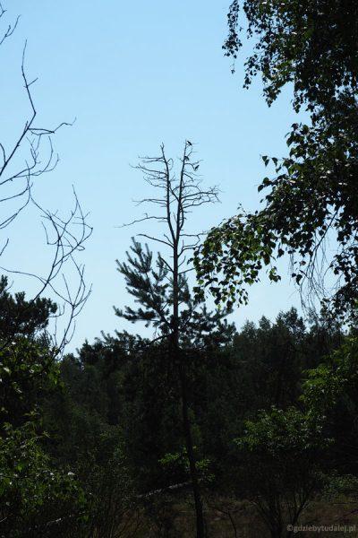Kormorany suszą pióra na drzewach.