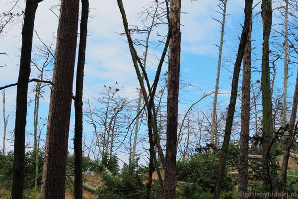 W obszarze referencyjnym gniazda znajdują się niemal na każdym drzewie.