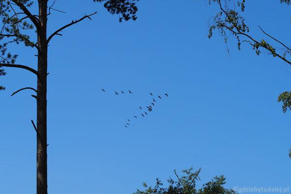 Sznur kormoranów...