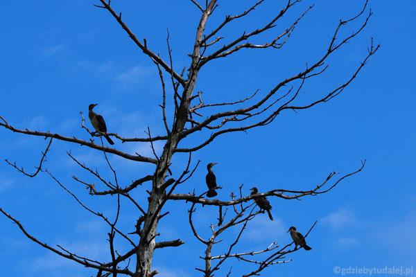 Rezerwat kormoranów w Kątach Rybackich.