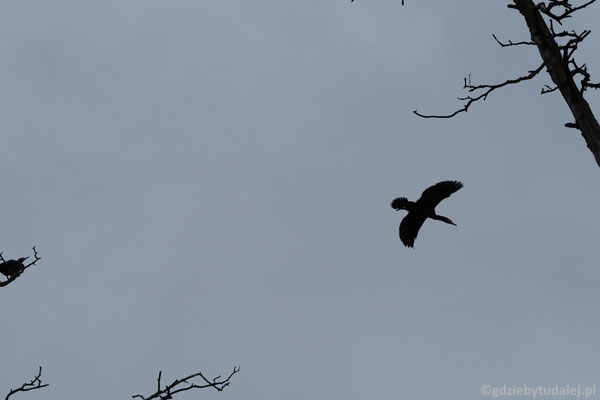 Nad głowami co chwila przelatują nam kormorany.