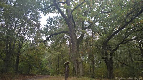 Stary Dąb ma ponad 340 cm obwodu.