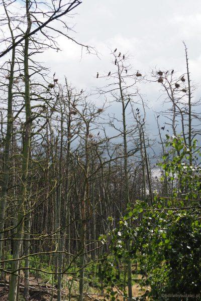 Las zniszczony przez kormorany.