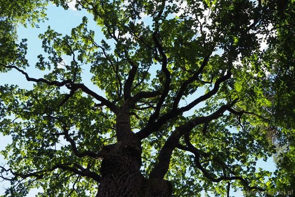 ...to jedno z najbardziej znanych puszczańskich drzew