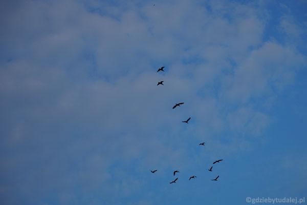 Tutaj też dolatują kormorany.