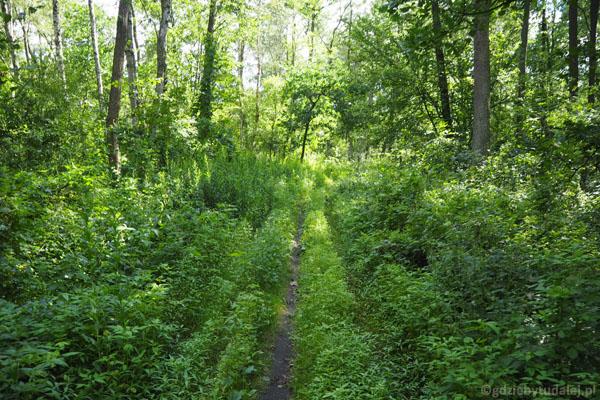 Wąziutka ścieżka, wokół zieleń i ... komary