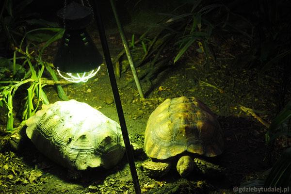 Można popodglądać ogromne żółwie