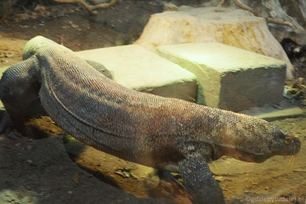 Kopuła Azja. Waran z Komodo - największa współczesna jaszczurka