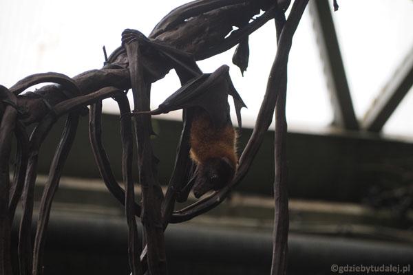 Rudawka wielka, zwana też latającym lisem, faktycznie lata swobonie nad głowami