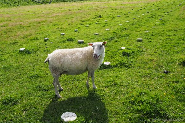 Owce, owce, owcze wszędzie