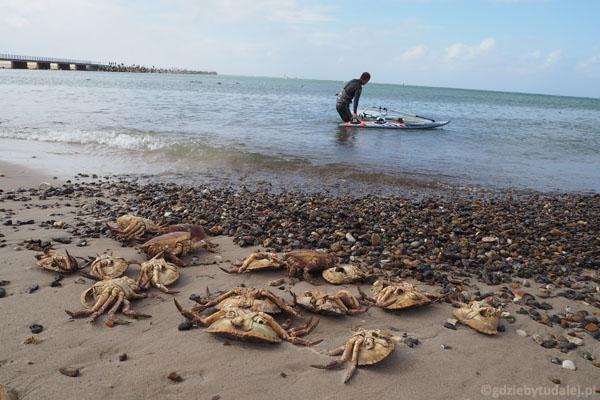 Tak dużych krabów jeszcze nie widzieliśmy