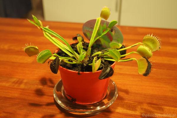 Owadożerne muchołówki to najlepsza pamiątka z Randers