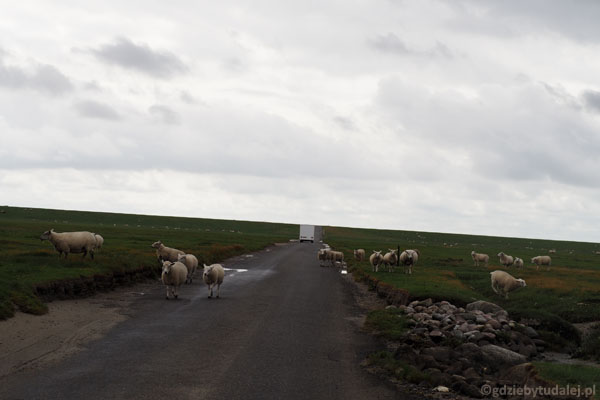 W rejonie Mandø wypasane są wielkie stada owiec