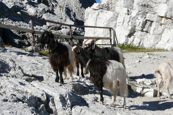 Pod La Rosettą witają nas towarzyskie kozy górskie.