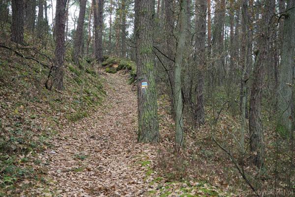 Wydmy w okolicach Starej Dąbrowy należą do najokazalszych w Puszczy.