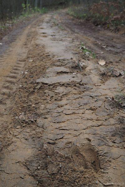 Na drodze widać wyraźne ślady łosia.