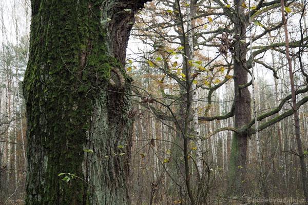 Kształt drzew wskazuje na to, że kiedyś otaczała je polana