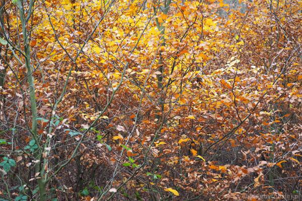 Kolor liści jest tak intensywny, że mamy wrażenie, że świeci na nie słońce