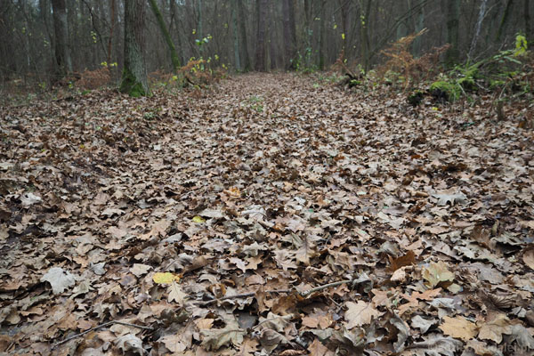 Pod nogami dywan dębowych liści