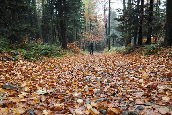 Pod nogami bukowe liście, jak to jesienią.