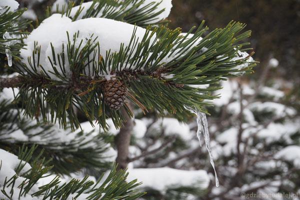 Zachwycały nas dziś lodowe dekoracje na kosodrzewinie.