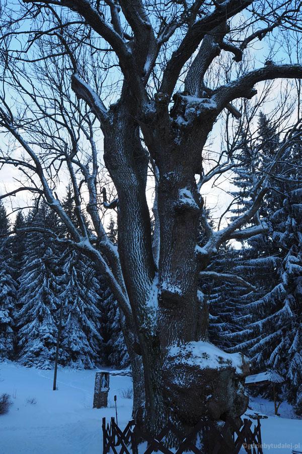 Stary jesion 'Bolko' rosnący przed schroniskiem jest pomnikiem przyrody.